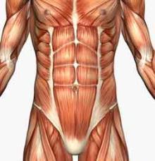muscle-anatomy-2hggfhdfgdfg.jpg